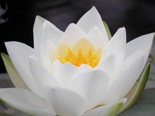 Waterlily Waterlilypond Silent Valley Northern Ireland White