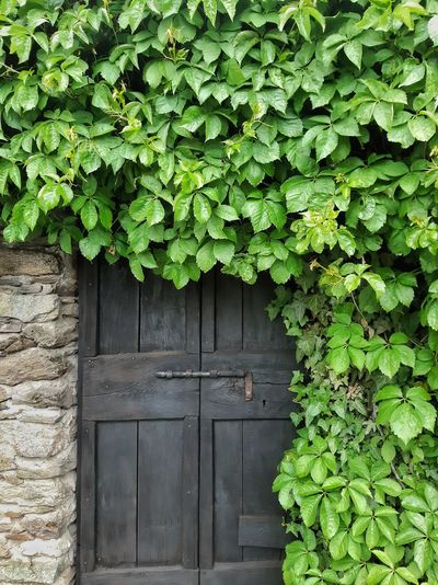 Leaf Ivy Wood - Material Door Close-up Architecture Building Exterior Built Structure Plant Green Color Open Door Closed Door Entryway Green Door Handle Closed Arched Latch Entry Young Plant Creeper Plant Doorway Entrance Countryside Grassland Locked Creeper Door Knocker Front Door Hinge