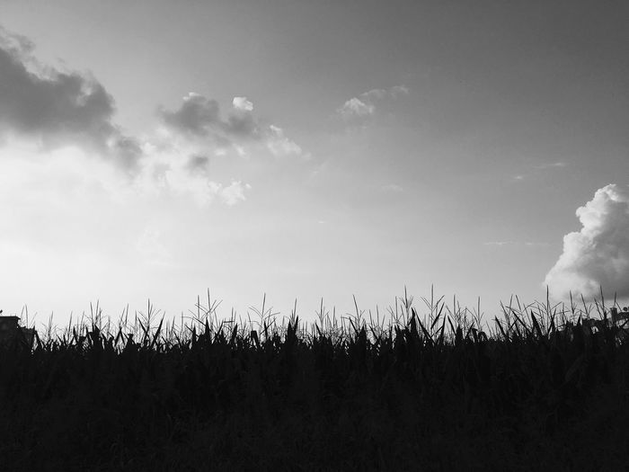 the wind is blowing but birds isn't flying.☁️ Clouds Blackandwhite Milk Corn Wind Plant