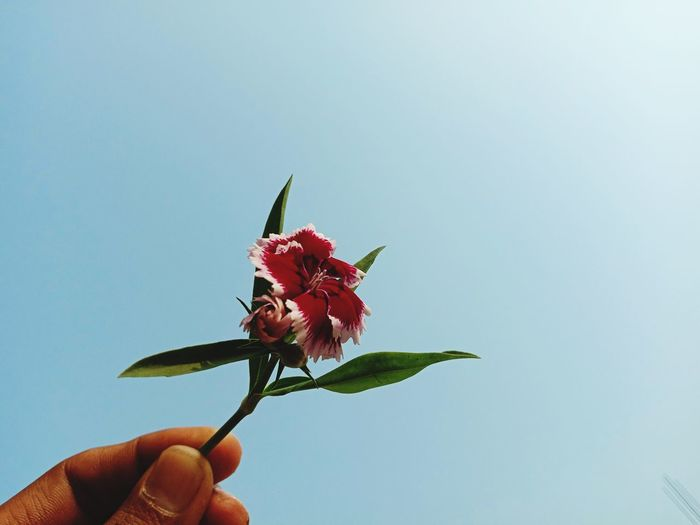 Close-up of hand holding red flowering plant against blue sky