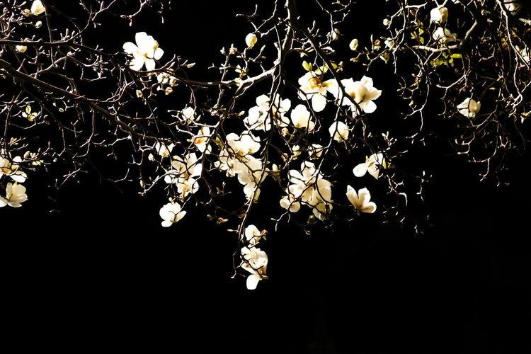 Close-up of cherry blossom tree at night