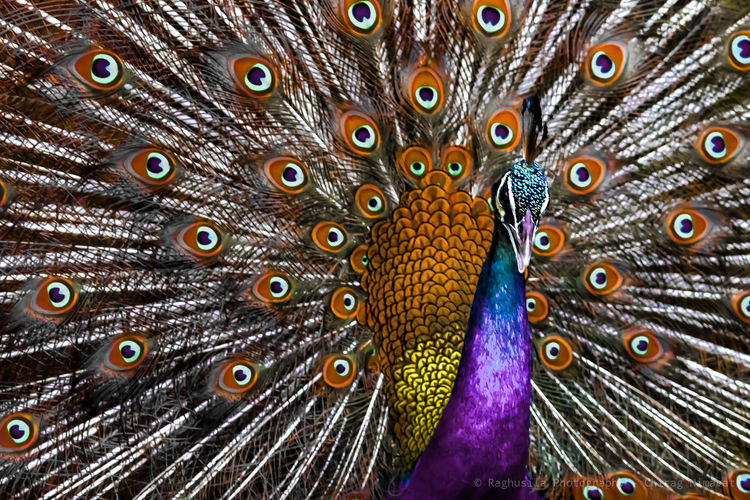Peafowl Peafowl Peacock Feather Bird Peacock Fanned Out Multi Colored Beauty Feather  Close-up Cockerel HEAD Animal Markings Preening Rooster Tropical Bird Chicken - Bird Poultry Scarlet Macaw Butterfly - Insect Spread Wings Animal Eye Animals Mating Tiger Beak Animal Antenna Weather Vane Birdcage Animal Crest