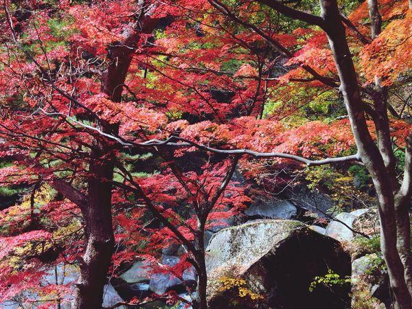 Authentic Moments Autumn Colors Japanese Maple Japan