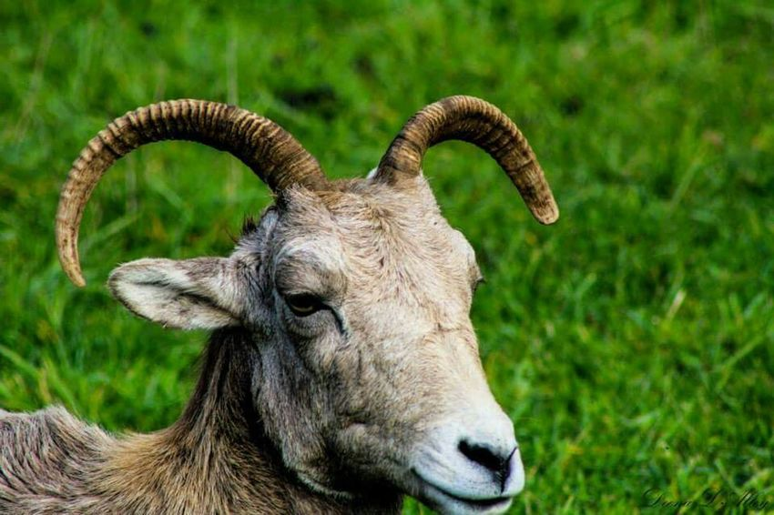 Northwest Trek Wildlife Washington Big Horn Sheep