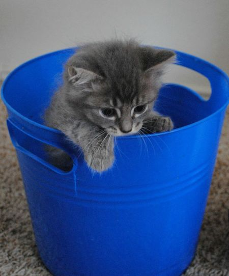 """""""Kevin"""" playing in his bucket. Alertness Animal Head  Blue Cat Close-up Cute Day Domestic Animals Domestic Cat Feline Focus On Foreground Mammal Nature Pets Portrait Whisker Close Up Photography Kitten Playing Blue Bucket Interior Photography Nikon D3000 Kitten Adorable Kitty!  Growing Up"""