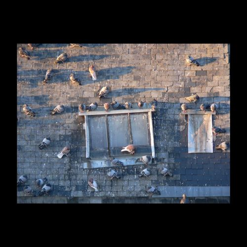 Travaux à prévoir... Pigeons Ardoise Toit Roof Window Windows EyeEmbestshots EyeEm Nature Lover EyeEmBestPics EyeEm Best Shots