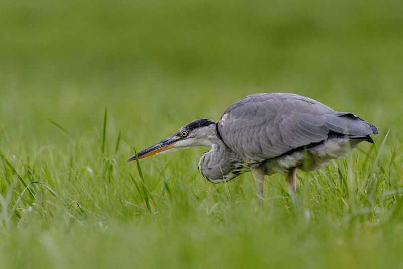 Side view of great blue heron on grassy field