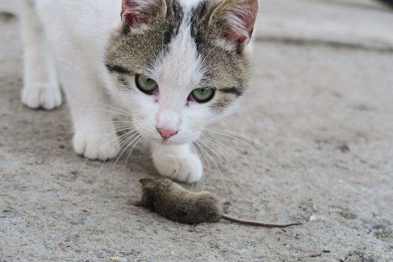 What! What's That? Animal Themes Cat Close-up Day Domestic Animals Domestic Cat Feline Focus On Foreground Mammal Mouse Mouse And Cat No People One Animal Outdoors Pets Portrait What's Up? Whisker