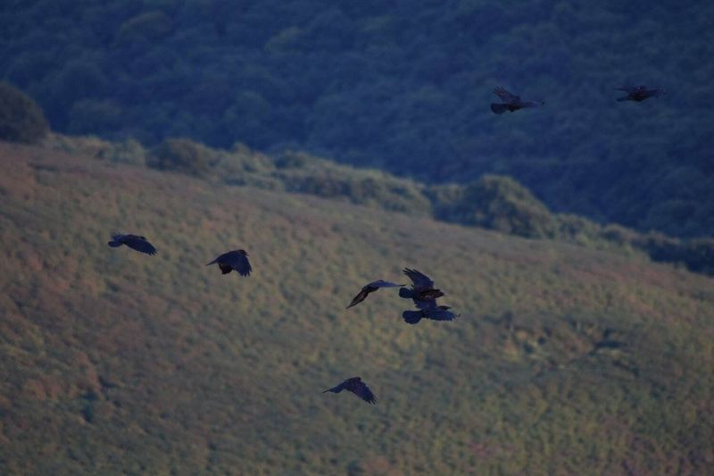 Crows from the Sugar Loaf Abergavenny Crows As The Crow Flies A Bird's Eye View Birds In Flight Sugar Loaf Abergavenny