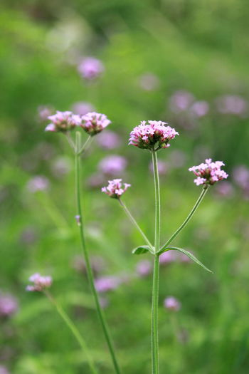 Flower Head Flower Pink Color Summer Purple Close-up Plant Green Color Grass Blossom Blooming
