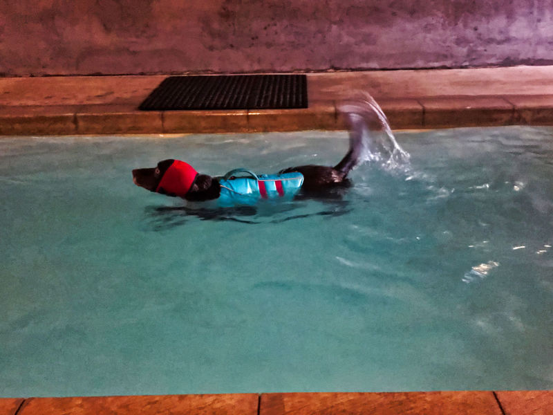 Chocolate Labrador Retriever dog swims laps in indoor pool for physical therapy. He wears life vest and ear covering. Chocolate Labrador Retriever Physical Therapy Exercise Therapy Activity Adult Day Ear Protection Eyewear Floating On Water High Angle View Leisure Activity Life Jacket Life Vest Lifestyles Motion Nature Outdoors Pool Relaxation Safety Swimming Swimming Pool Swimwear Turquoise Colored Water