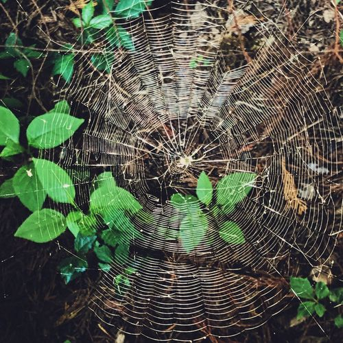 Yard-wide web 🕷🕸 IPhone Photography IPhoneography Iphoneonly Iphonephotography VSCO Vscox Leaf Plant Part No People Green Color Day Nature Pattern