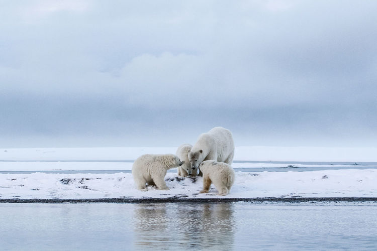 Polar bears searching for food by lake