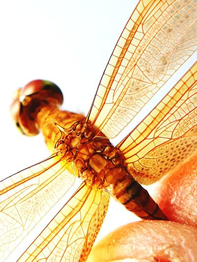dragonian EyeEm Selects Insect Butterfly - Insect Close-up Dragonfly Eyeball Invertebrate Eyesight