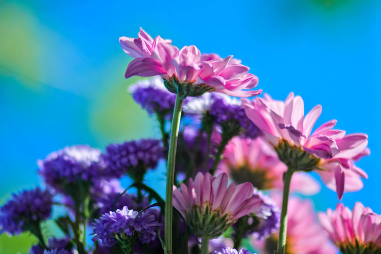 Close-up of pink flowering plants against blue sky