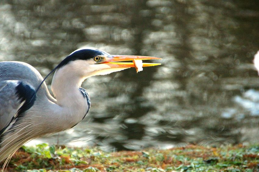Heron Bird One Animal Bird Animal Wildlife Animals In The Wild Side View Animal Themes No People Close-up Outdoors Day Nature Water London Concentration Feeding  EyeEmNewHere