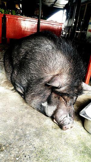 Pig Wildboar Fatpigs Mammal Wild Animals Wild Life