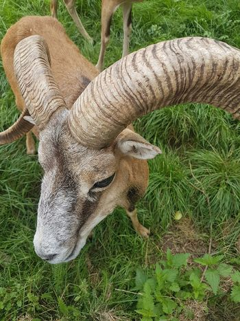 High Angle View Field No People Day Outdoors Grass Nature Animal Themes Mammal Close-up Goat Horns Pet Portraits