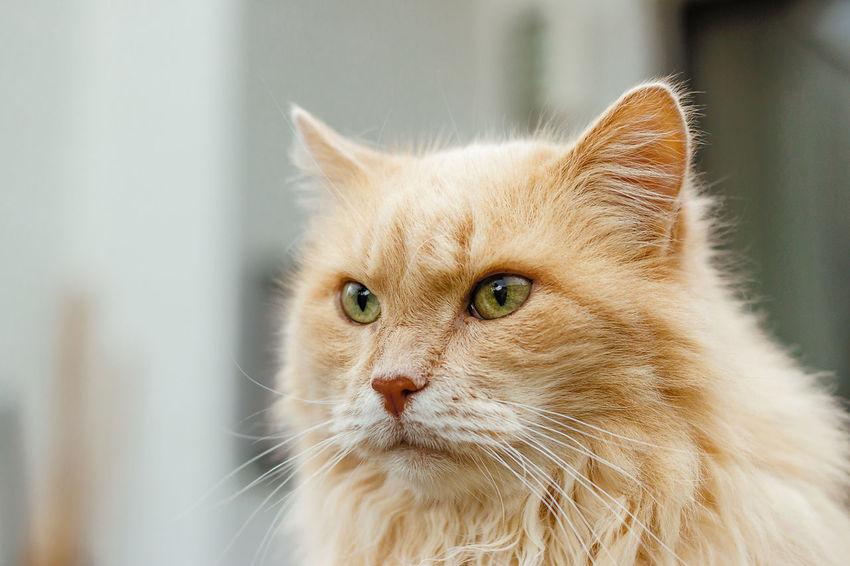 "Our 17-year old siberian cat ""Djarjar"" Cats Of EyeEm EyeEmNewHere Cat Cat♡ Close-up Domestic Animals Domestic Cat Feline One Animal Pets Portrait Sibiriancat EyeEmNewHere"