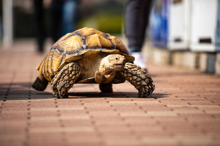 Close-up of turtle walking on footpath