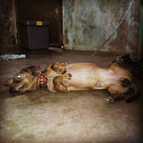 Our baby love's Nagpapalambing pose! Good morning Daster baby! Pet Daschund Mustlovedogs fambam love blessed