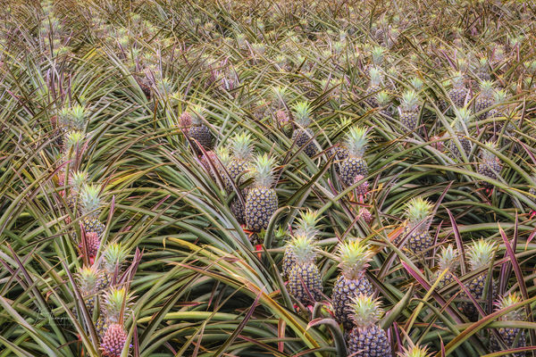 The Pineapple Agriculture Hawaii Beauty In Nature Close-up Day Field Food Green Color Growth High Angle View Nature No People Outdoors Pineapples Plant
