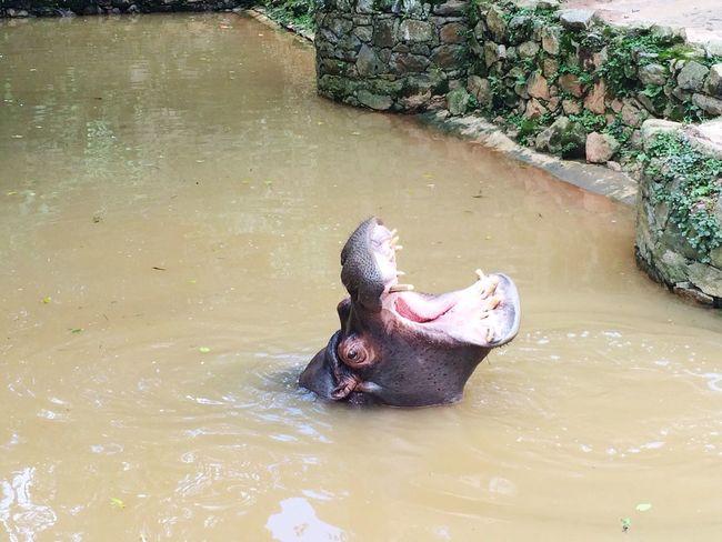 Zoo Zoológico Hypo Hipopotamó
