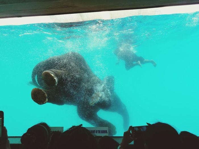 Elephant Show Elelphants Water Swimming Underwater Men