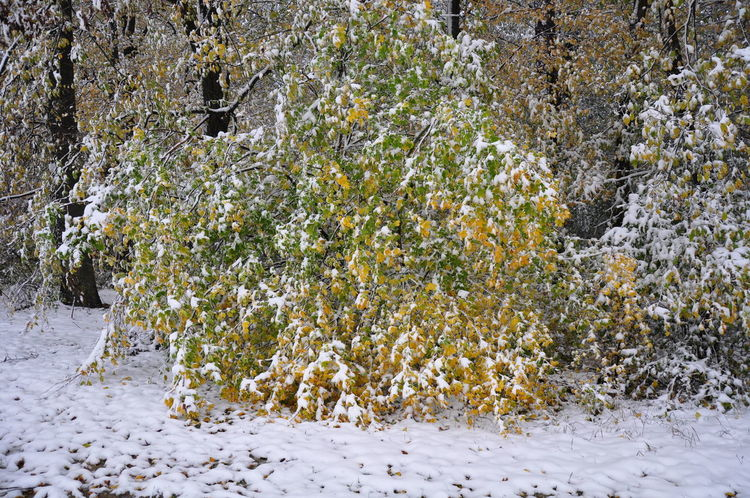 Autumn Leaves Beech Trees Damaged And Wrecked Early Snowfall Foliage Forest Snow Bending Branches Snow On Branches