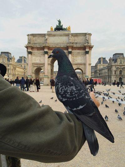 Pigeon Carousel Louvre Musée Du Louvre