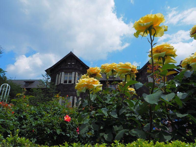 旧古河庭園の洋館の美しさは、ボカしてしまうには勿体無いので、昨日はずっとパンフォーカスで撮影。薔薇が終わりつつあってあまり沢山撮れなかったけど、都内でこういう絵が撮れる場所は貴重。 Flower Plant Roses🌹 Fragility Petal Blooming Yellow Freshness Flower Head Building Exterior Built Structure Low Angle View Cloud - Sky Garden Garden Photography Japan Photography Olympus OM-D E-M5 Mk.II よく見ると薔薇の裏になんか居るなあ😓