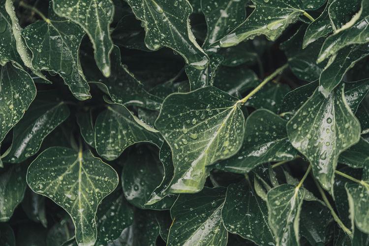 Full frame shot of wet plant leaves during rainy season