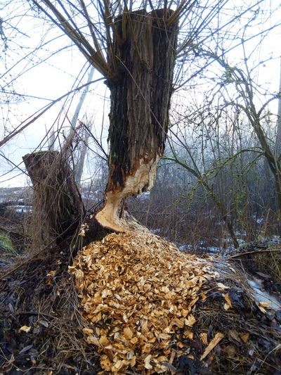 Nature Tree Baumstumpf Flussufer Biber's Werk Biber Outdoors Tree Stump Bqaquaris Bq