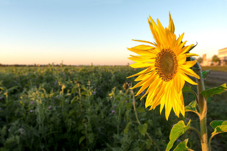 Golden yellow sunflower soaking up the rising morning sun with blue sky back ground. Sun Up Agriculture Beauty In Nature Blooming Close-up Field Flower Flower Head Fragility Freshness Growth Nature Petal Plant Rural Scene Sky Summer Sunflower Sunrise Yellow