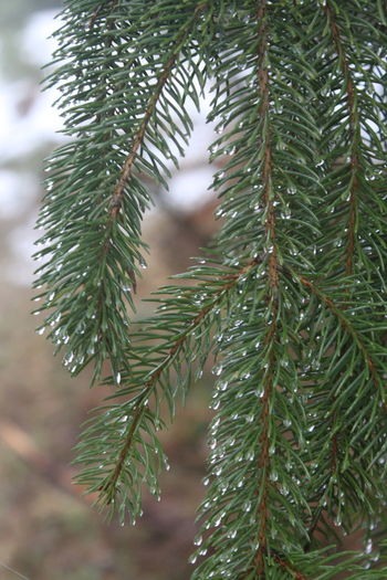 Leaves Fir Tree