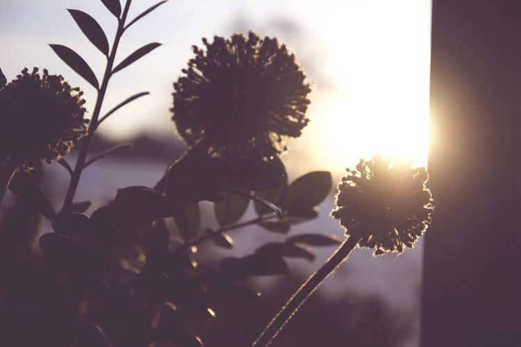 Flower Nature Fragility Growth Flower Head Petal Beauty In Nature Freshness Day Sunset Blooming Outdoors Plant Close-up Silhouette No People