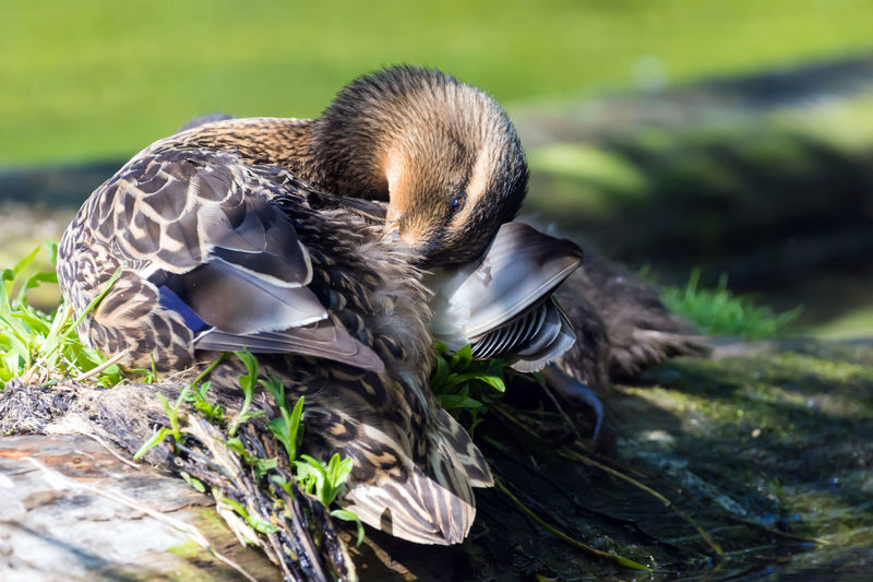 Female Mallard Duck Preening Animal Themes Animal Wildlife Animals In The Wild Animals In The Wild Bird Bird Photography Birds Of EyeEm  Birds_collection Birdwatching Close Up Close-up Day Ducks Focus On Foreground Lake Lakeshore Mallard Duck Nature No People One Animal Outdoors Patterns In Nature Preening Birds Preening Feathers Wildlife & Nature