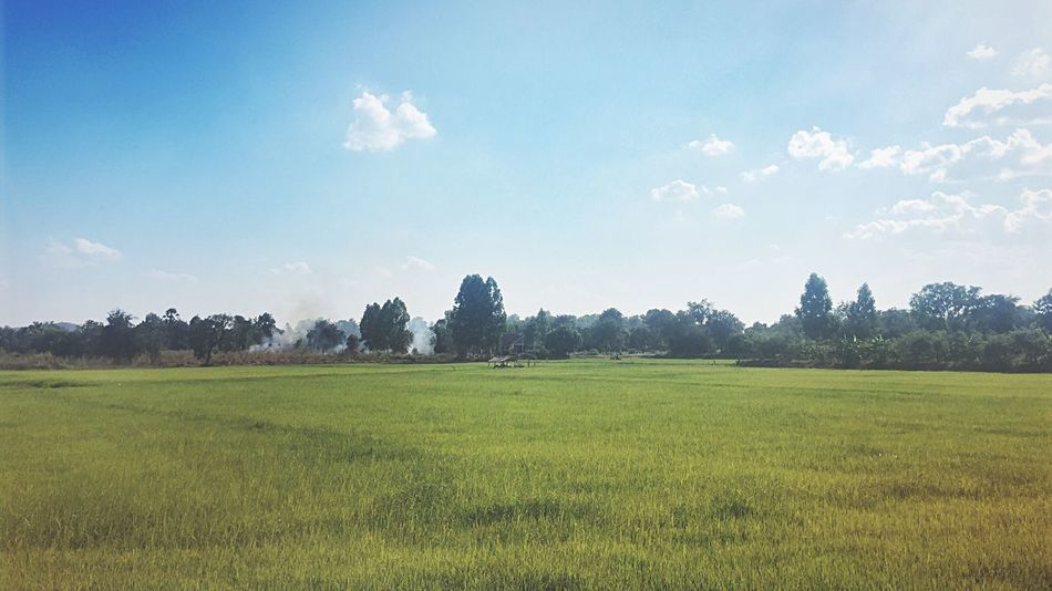Rice Field IPhoneography Iphonephotography Green Green Green!  Greenery Green Farmer's Life Thailand Scenery Suburban Landscape Suburban Nature Suburban Tranquility Tranquil Scene