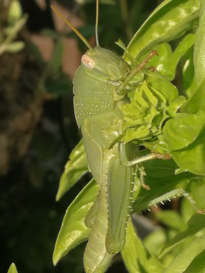 Leaf Insect Close-up Animal Themes Green Color Plant