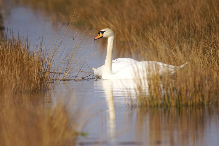 Side view of a swan swimming in lake