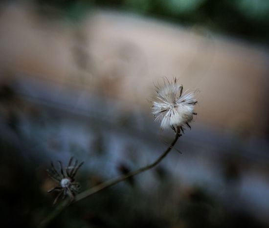 Beauty In Nature Close-up Dandelion Dandelion Seed Day Flower Flower Head Flowering Plant Focus On Foreground Fragility Freshness Growth Inflorescence Nature No People Outdoors Plant Plant Stem Selective Focus Softness Vulnerability  Wilted Plant