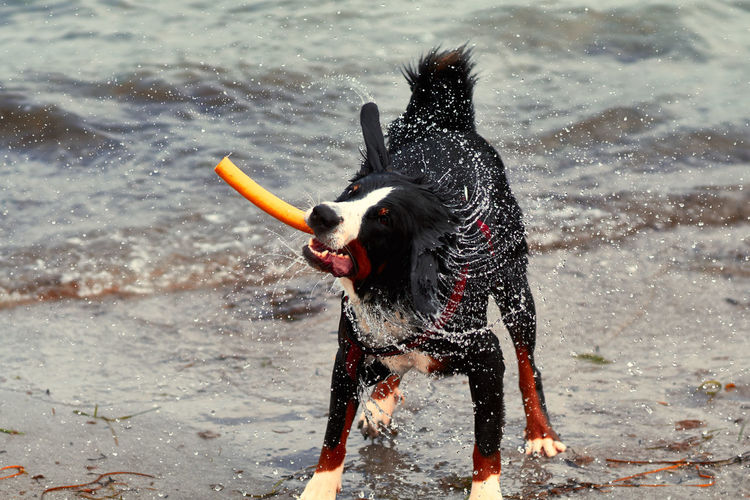 Full Length Of Dog Shaking While Standing On Shore At Beach