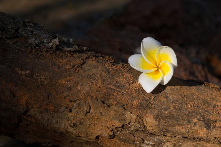 Close-up of white frangipani on rock