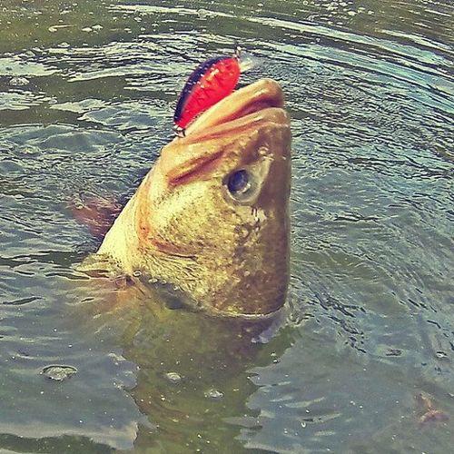 They love shallow Crankbait . Fall season is started 👍💖 Bassfishing Livingstonlures Livingstonluresfamily Bluesprings