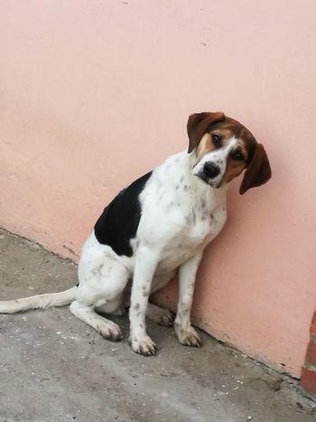 Beagle Pets Dog Young Animal Puppy Sitting Sand Animal Themes