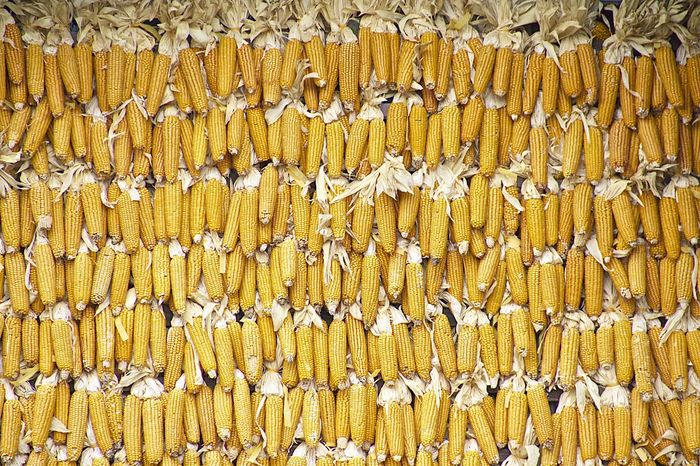 Corn Yellow Golden Cornfield Corn Field Farm Fall Colors Pattern, Texture, Shape And Form Patterns In Nature Repetition Colors and patterns Beautifully Organized