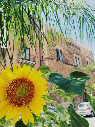 S c i a c c a. Sicily Art Arch Museum EyeEm Selects Picture Flower Head Flower Tree Leaf Yellow Blossom Close-up Sky Plant Built Structure Sunflower Plant Life