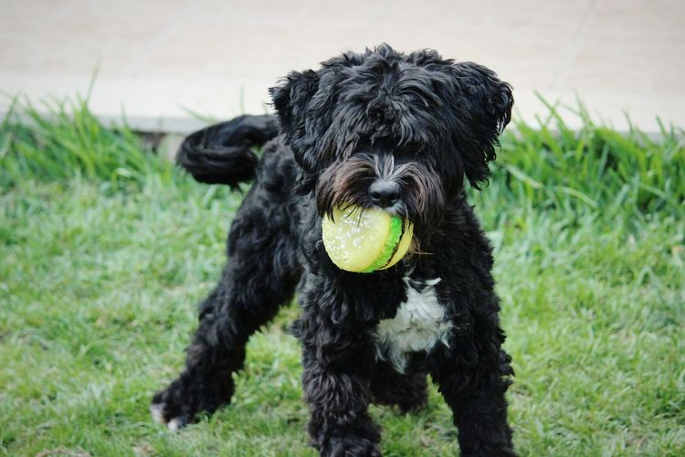 Close-Up Of Black Dog Carrying Toy On Grassy Field