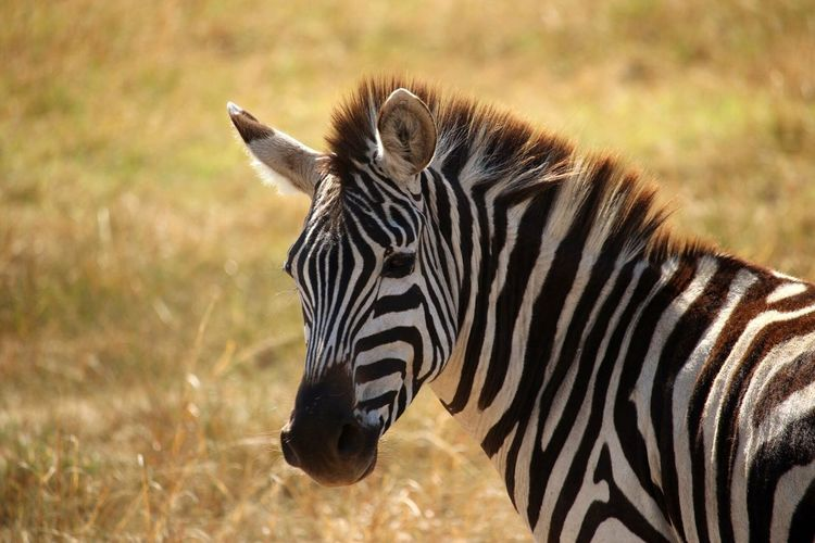 EyeEm Selects Animals In The Wild Animal Wildlife Animal Animal Themes Zebra Striped Vertebrate Safari One Animal No People Focus On Foreground Nature Animal Markings Day Land Field Tourism Outdoors Mammal Animal Head