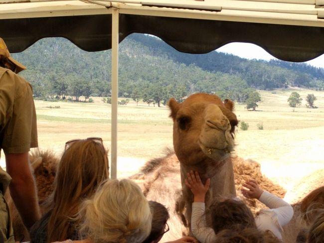 Animal Animal Themes Mobilephotography Travel Destinations NoEditNoFilter Tasmania Hobart Desert American Bison Mountain Livestock Camel